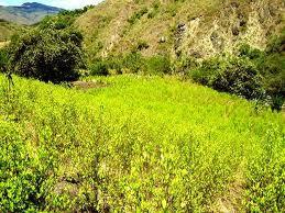 coca cultivo