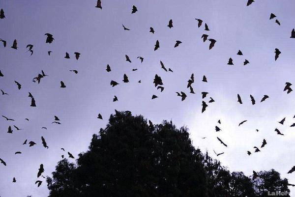 murciélagos rabia