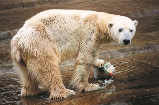 Oso Polar. Foto de Archivo, La República.