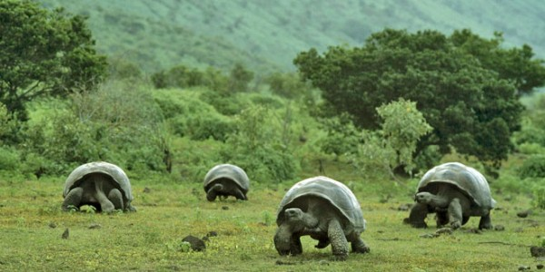 Tortugas gigantes en Galápagos. Foto de Archivo, La República.