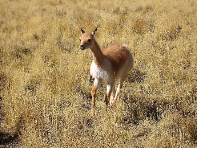 Female_Vicuña_running