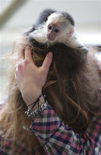 """El mono capuchino """"Mally"""" en la cabeza de un empleado de un albergue para animales en Munich, Alemania, el martes 2 de abril de 2013. El mono es la mascota de Justin Bieber pero el cantante no tenía los documentos necesarios al llegar a Alemania y le fue retirado. Bieber tiene cuatro semanas para recuperarlo o será entregado a otros cuidadores. (Foto AP/Matthias Schrader)"""