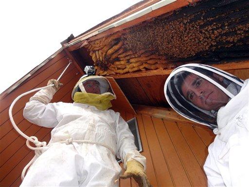 En esta fotografía de abril de 2013 suministrada por el apicultor Vic Bachman, Bachman (izquierda) y su socio Nate Hall se preparan para retirar una colmena de más de tres metros de largo en una cabaña de Eden, Utah. Se calcula que la colmena daba cabina a 60.000 abejas. (Foto AP/Cortesía de Vic Bachman)