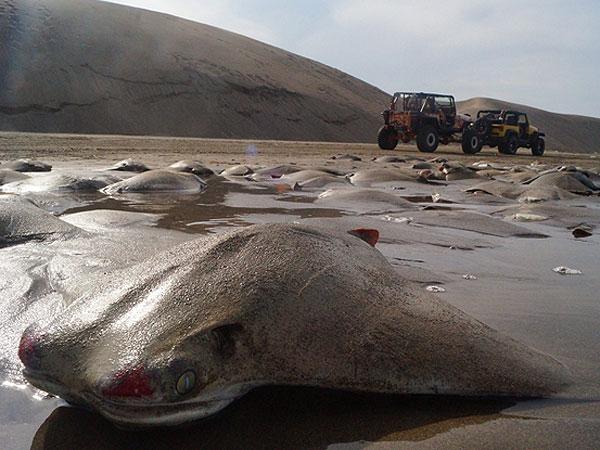 Los cadáveres de mantarrayas se amontonan en la playa de Chachalacas, cerca de Ursulo Galván, en Veracruz, un estado del Golfo de México, el martes 16 de julio de 2013. Las autoridades mexicanas investigan la muerte de al menos 250 mantarrayas. Según el alcalde, Martín Verdejo, testigos dijeron que los pescadores descargaron las mantarrayas en la playa porque no obtenían buen precio por ellas. (AP Foto/Félix Márquez)