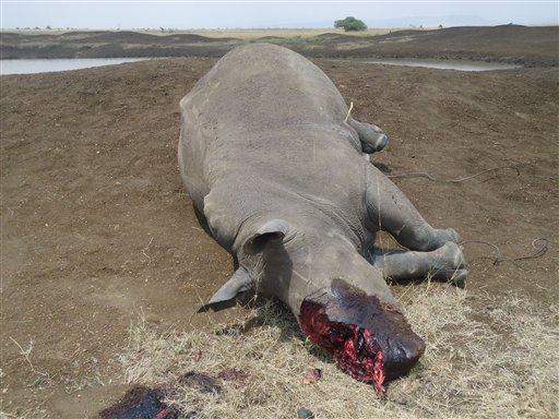 En esta foto del 10 de agosto del 2013 proveída por el Servicio de Fauna de Kenia se ve un ronoceronte muerto en el Parque Nacional de naironi. Els ervicio dijo que el animal fue muerto a tiros por cazadores furtivos que le arrancaron el cuerno.  (Foto AP/Servicio de Fauna de Kenia)