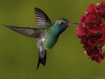 El colibrí esmeralda