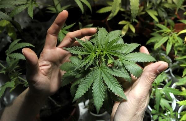 Planta de marihuana en Uruguay. Foto de Archivo, La República.