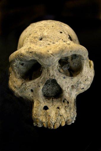 Esta foto del 2 de octubre del 2013 en Tbilisi, Georgia, muestra un cráneo prehumano hallado en el 2005 en el pueblo medieval d eDmanisi, Georgia. El descubrimiento de ese cráneo de hace 1,8 millón de años de un antepasado de los seres humanos, enterrado debajo de una aldea medieval georgiana suministra un panorama vívido de los comienzos de la evolución y que nuestro árbol genealógico podría tener menos ramas que las que se suponían, dicen los científicos (AP Foto/Shakh Aivazov)