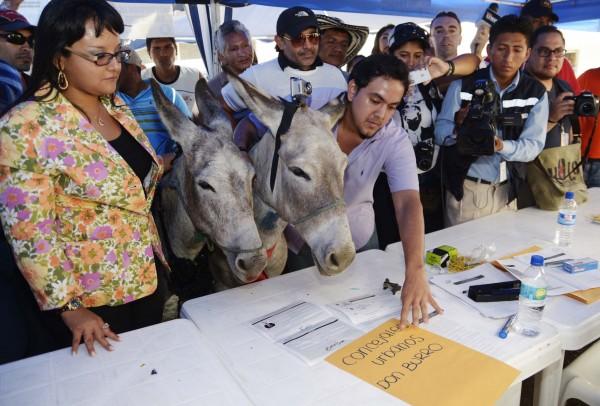 Guayaquil 21 de Noviembre del 2013. Daniel Molina presento la inscripcion de dos burros para las concejalias de la Municipalidad de Guayaquil. El popular Don Burro se presento con doña Burra Esperanza en las instalaciones del CNE Guayaquil. Foto: Marcos Pin /API