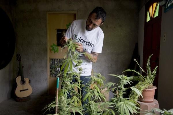 Marcelo Vázquez, un cultivador de marihuana, revisa las hojas de una de sus plantas en Montevideo, Uruguay, el lunes 9 de diciembre de 2013. Todo indica que tras el debate del martes el Senado uruguayo aprobará el proyecto de ley que habilitará y regulará el mercado legal de marihuana tal como fue aprobado en la Cámara de Diputados, lo que convertirá a Uruguay en el primer país en regular el mercado de marihuana desde la producción hasta su venta al público.(AP foto/Matilde Campodonico)