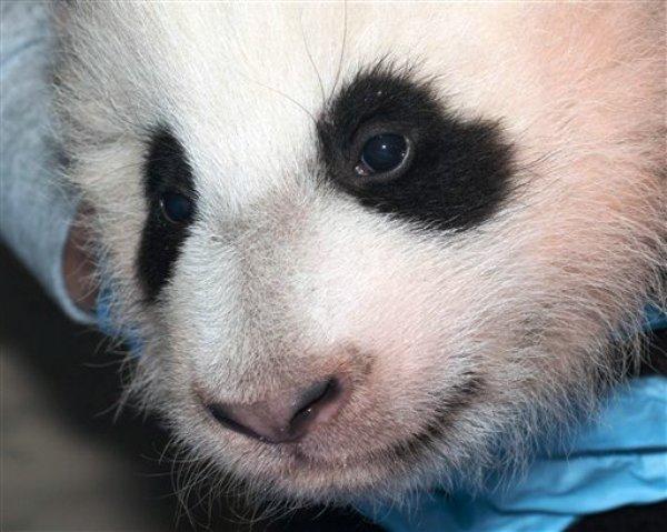 Un panda gigante en una foto del Zoológico Nacional Smithsoniano del 29 de noviembre del 2013. el Zoológico Nacional del Museo Smithsoniano nombró al cachorro hembra de 100 días de edad Bao Bao después de haber recibido más de 123.000 votos del público por Internet. (Foto AP/Zoológico Nacional Smithsoniano, Abby Wood)