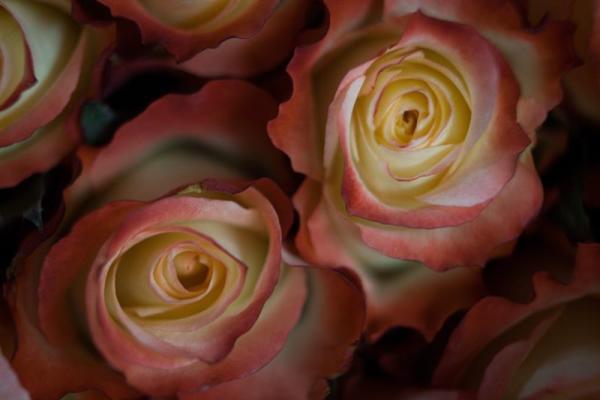 Fotografía del 5 de febrero de 2014, del detalle de una rosa en la finca Ecuanros, en el sector de Pastocalle (Ecuador).
