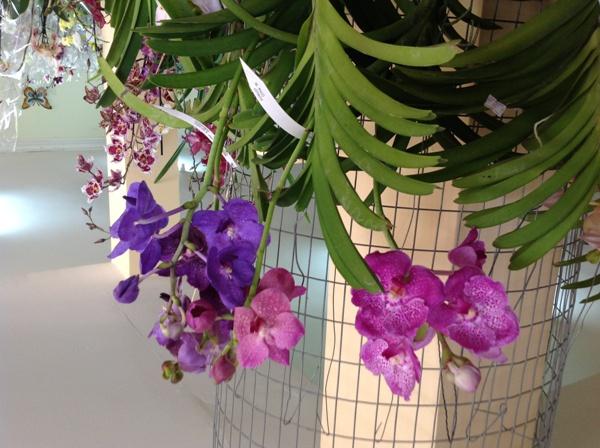 Coxon orquideas
