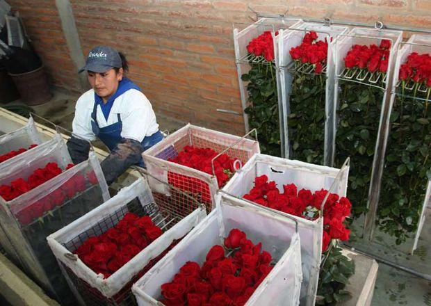 Cultivadores de flores. Foto de Archivo, La República.