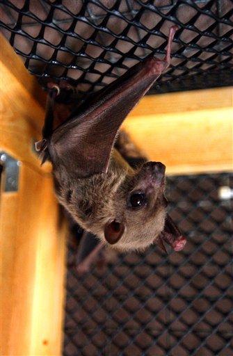 Fotografía de archivo del 29 de julio de 2003 de un murciélago de la fruta egipcio mientras cuelga boca abajo en una jaula en la casa de Geraldine Griswold en Winsted, Connecticut.  (Foto AP/Bob Child, Archivo)