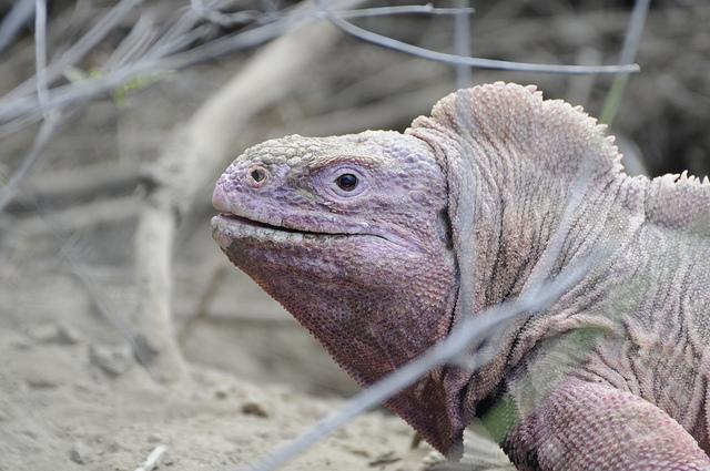 Ejemplar de iguana rosada, habitante del volcán Wolf, en la Isla Isabela, publicada por el Parque Nacional  Galápagos, en diciembre de 2007.