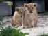 Dos de los tres cachorros de león caminan por primera vez en el exterior el viernes 26 de junio de 2015 en el zoológico Vincennes de París. Los tres cachorros nacieron el 22 de abril de 2015. (Foto AP/Michel Euler)