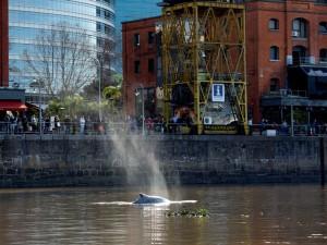 Personas observan a una ballena perdida en Puerto Madero, Buenos Aires, Argentina, el lunes 3 de agosto de 2015. (Foto AP/Natacha Pisarenko)