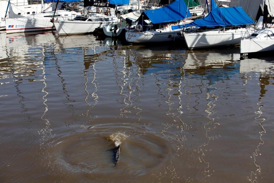 Una ballena perdida nada cerca de embarcaciones en Puerto Madero, Buenos Aires, Argentina, el lunes 3 de agosto de 2015. (AP Foto/Natacha Pisarenko)