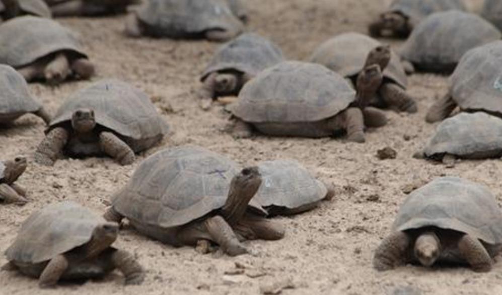 La Natividad llega a Islas Galápagos con la eclosión de huevos de tortugas