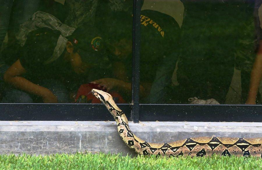 En esta foto del 20 de enero de 2016, niños contemplan una boa en una jaula vidriada en el museo de serpientes venenosas de Lima. (AP Foto/Marín Mejia)