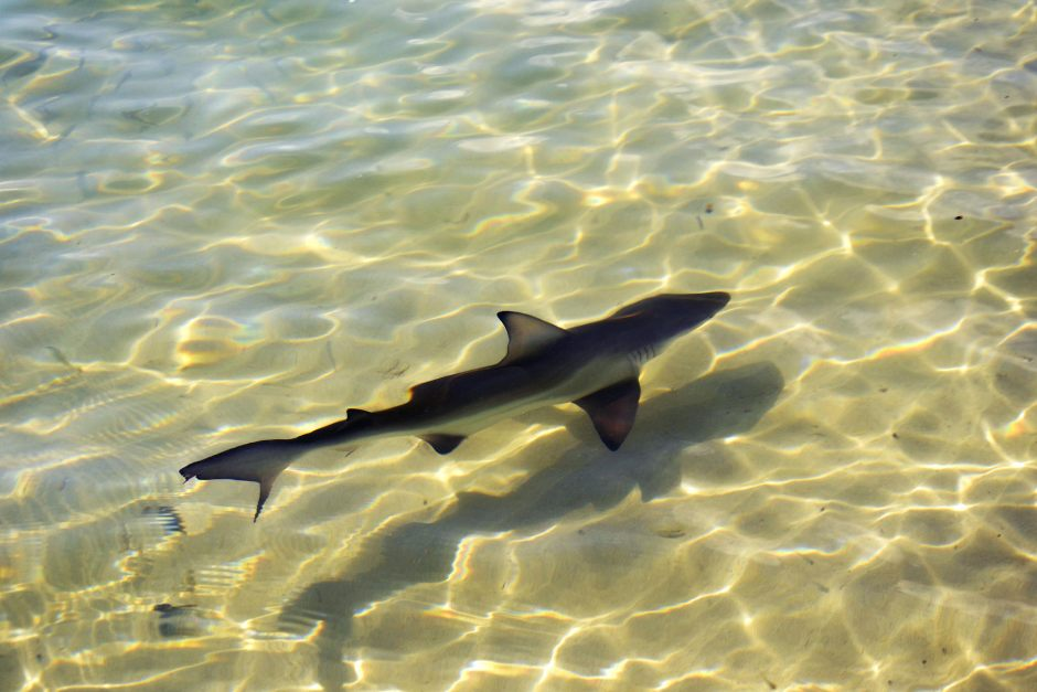Tiburón de Galápagos (Carcharhinus galapagensis). Playa Tortuga Bay. Isla de Santa Cruz de las Galápagos. Ecuador, subida a Flickt, en 2014, por KARTEEN.