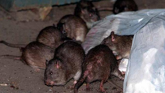 ratas nueva york