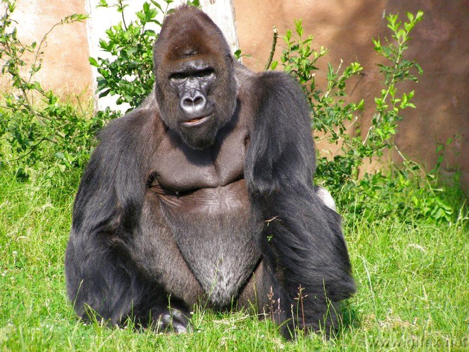 extinción-simios